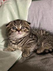 zwei wunderschöne BKH-Babykatzen suchen ein