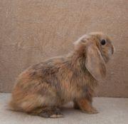 NHDs kleinbleibende Zwergwidder Kaninchen Jungtiere