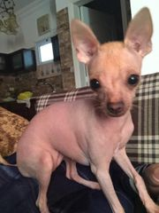 Mexikanischer Nackthund Xoloitzcuintle Welpen Exotsiche