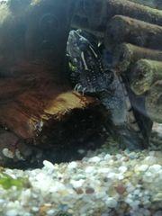 Moschusschildkröte ca 6 Monate alt