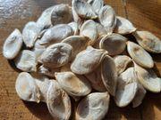 Kürbis Samen und Pflanzen von