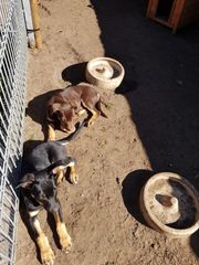 Familienhunde Sporthunde Schäferhunde Hütehunde Kelpies