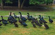 Enten Smaragd und Hochbrut