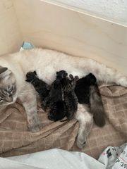 BKH Scottisch Fold BKH Kitten