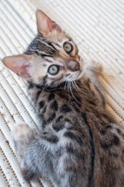 Anitallergene Katze - Bengalkätzchen Kitten