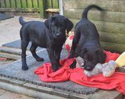 Kräftige Labradorwelpen mit Papieren Ahnenpass