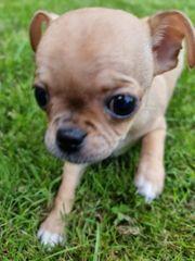 Chihuahua-Mops Welpen