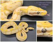 Königspython 0 1 Banana Pastel