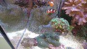 Korallen Heteractis Magnifica Prachtanemone