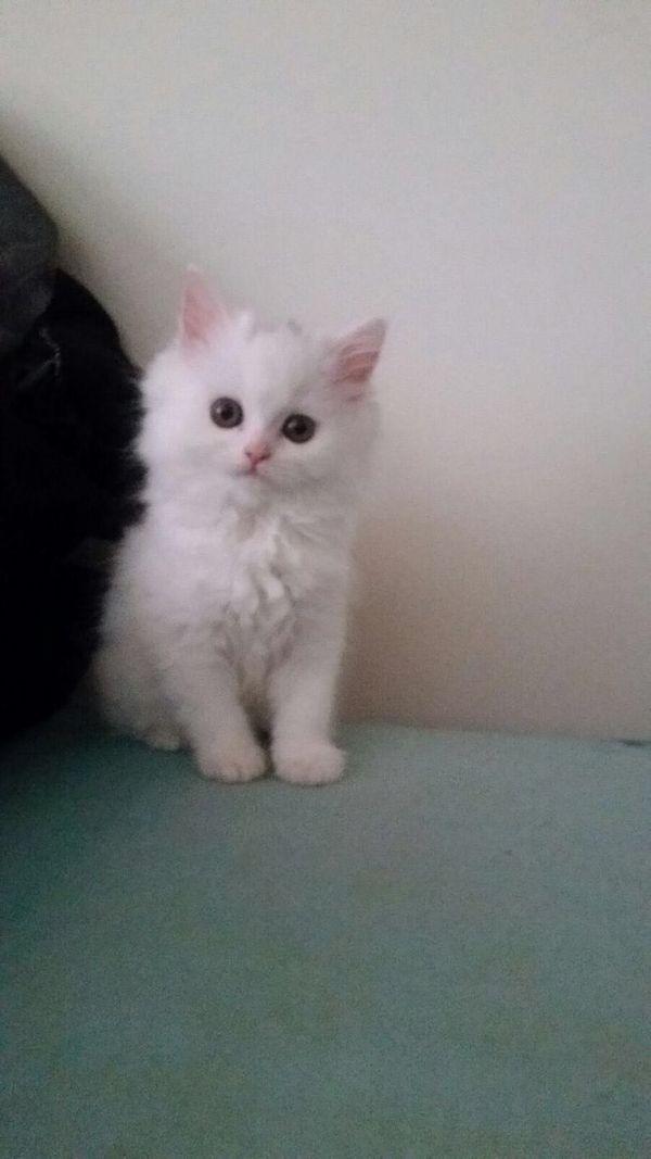 persische Kätzchen