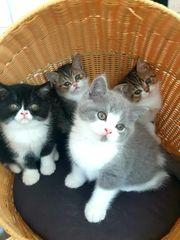 Britisch Kurzhaar - exotic Perser Kitten