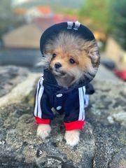 Mini Pomeranian Zwergspitz Rüde