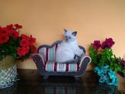 BKH Kitten blue point mit