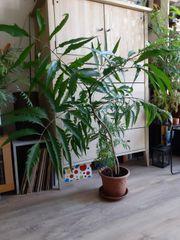 Zimmerpflanze Fiederaralie