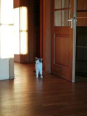 Britisch Scottisch kurzhaar Katze