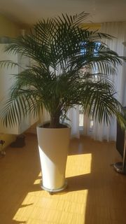 Zimmerpalme mit Lechuza-Pflanzgefäß