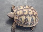 Griechische Landschildkröten 2020