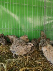 Wachteln Hennen zur Abgabe Bunte
