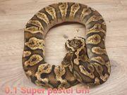 Super Pastel GHI Weibchen von