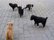 8 kleine Border Collie Magyar