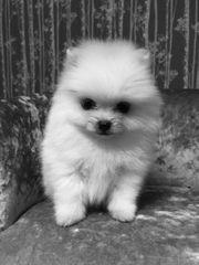 Mini Pomeranian Zwergspitz BOO C