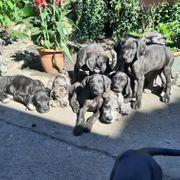 13 wunderschöne Doggen Welpen suchen