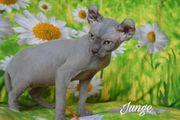 Elf Sphynx Kitten Stammbaum