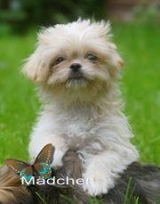 zuckersüßes kleinbleibendes Chihuahua - Shihtzu Edelmix