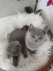 Bkh kitten reinrassig nur zwei