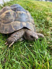 Maurische Schildkröte Mauro Landschildkröte Juni