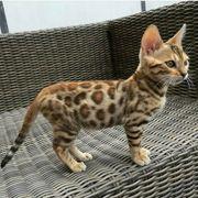 Bengalische Kätzchen