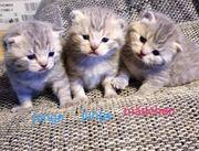 BKH kitten Britischkurzhaar kätzchen
