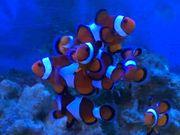 Meerwasser Amphiprion percula Trauerband Anemonenfische