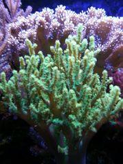 Weichkoralle Korallen Ableger für Meerwasser