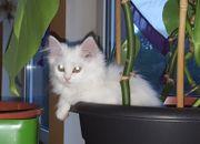 Perser- Türkisch Angora Kätzchen