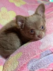 Chihuahua Welpen Lilac Blue fawn