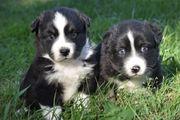 bezaubernde Australian Shepherd Welpen sind
