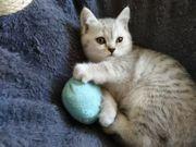 BKH Britisch Kurzhaar Kätzchen
