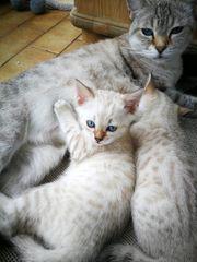 Snow Bengalen Kätzchen Kater