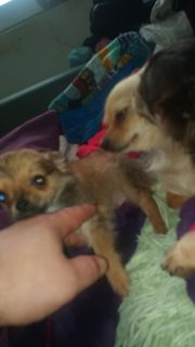 Mini Mini Mini Chihuahua