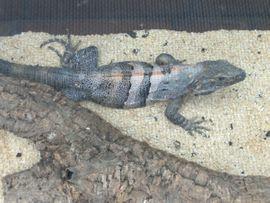 Bild 4 - 1 1 Schwarzere Leguane - Graben