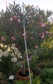 Sehr schöner Oleander blüht aktuell