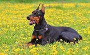 GELEGENHEIT Dobermann-Rüde wunderschön gezeichnet - Hund