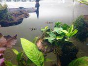 Ringelhechtling-Pseudepiplatys Epiplatys annulatus-Minifisch
