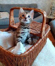 Bengal Kitten weiblich vom 09