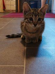 4 Katzenkinder - 12 Wochen alt
