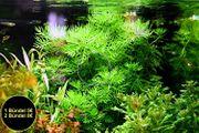 Wasserprimel RARITÄT Aquarienpflanzen AKTION Versand