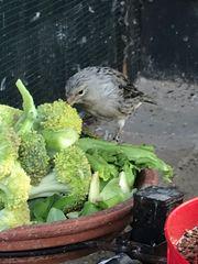 Achat Topas Kanarienvögel Preis als