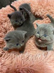 BKH SF kitten zu verkaufen