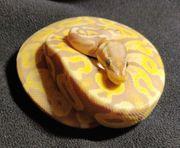 Königspython Python regius Mojave Coral
